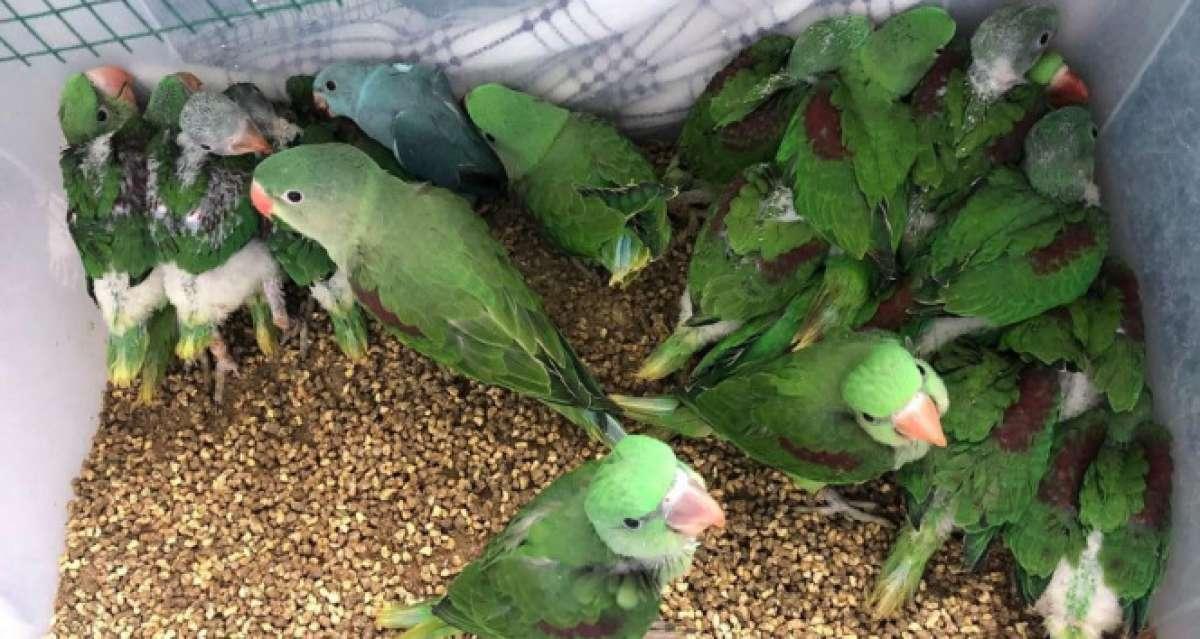 İstanbul'da kanatlı hayvan operasyonu: 38 İskender papağanı kurtarıldı