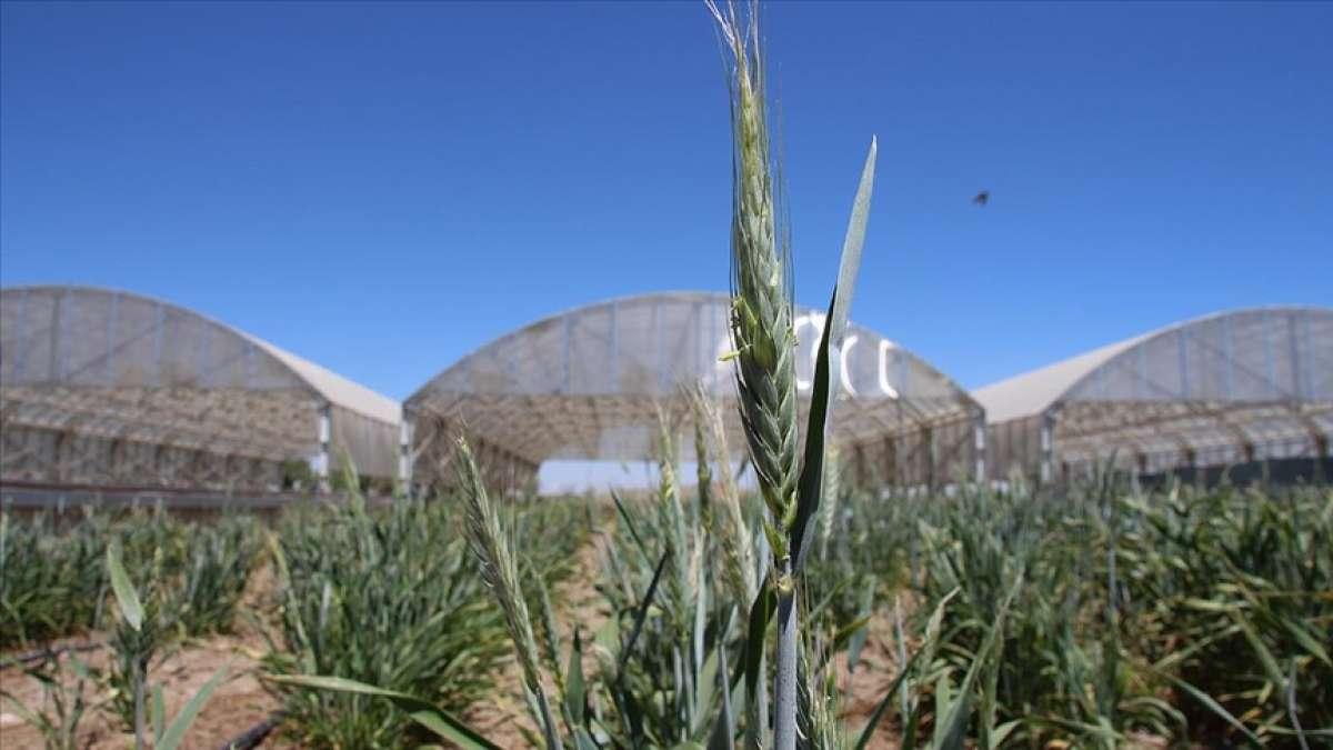 Kuraklığa dayanıklı tahıllar çiftçinin yüzünü güldürüyor